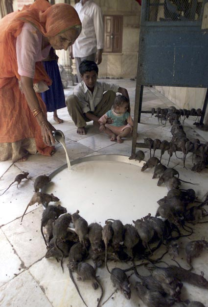 Temple rats being fed milk in India